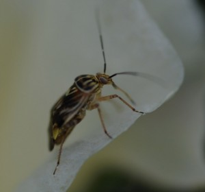 Cover photo for Check Cotton at First Square for Plant Bugs