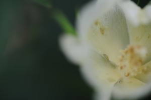Cover photo for Managing Plant Bugs in Blooming Cotton