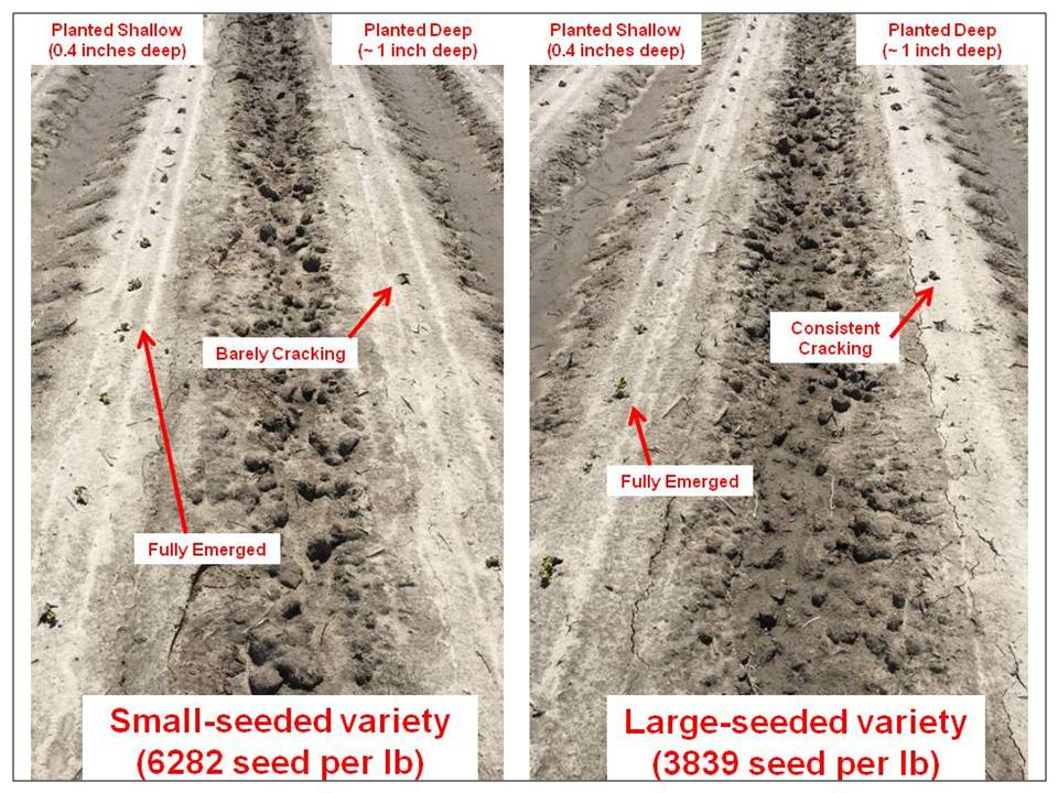 Image of deep vs shallow planting