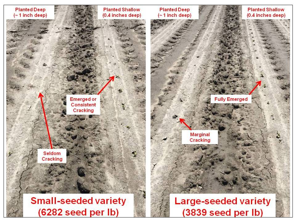 Image of deep vs shallow planting marginal emergence