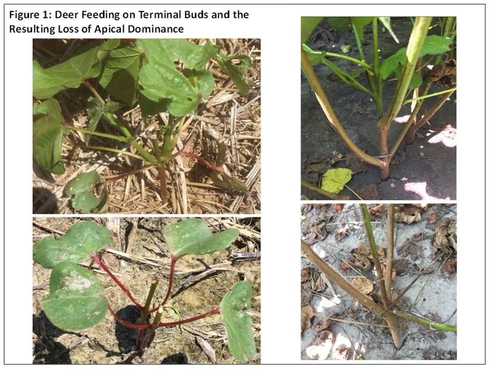 Image of damaged buds