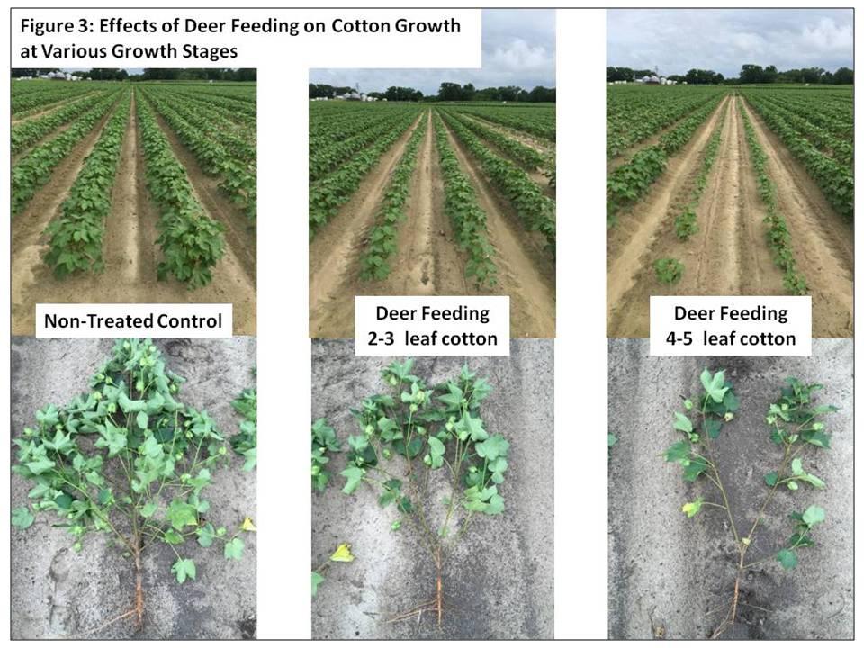 Image of effects of deer feeding