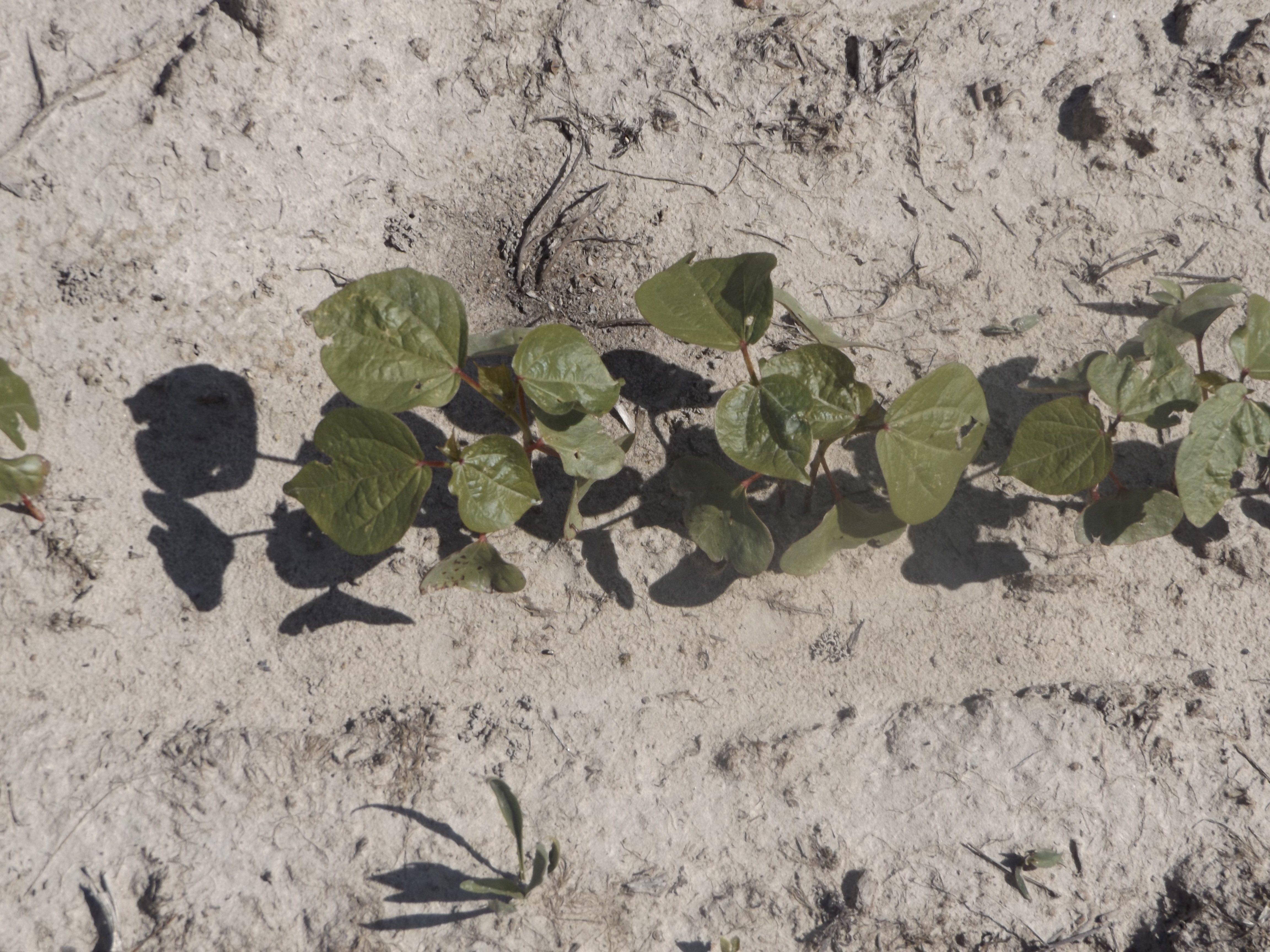 To Mix or Not to Mix…  Herbicides and Acephate | NC State