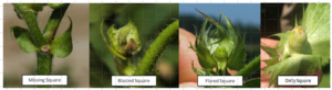 Cover photo for Scouting and Treating for Plant Bugs in Squaring Cotton