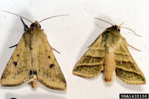 Image of corn earworm moth and tobacco budworm moth