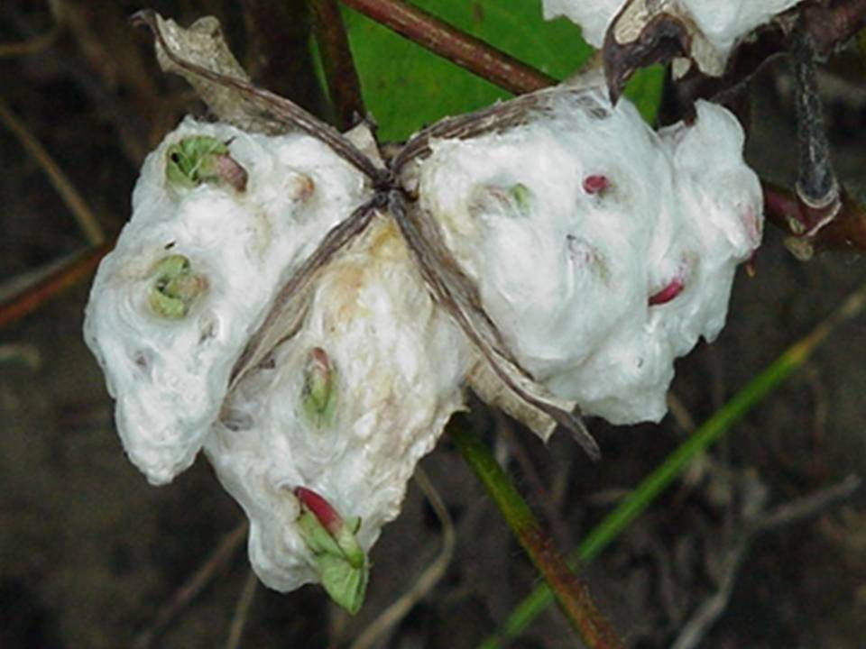 Image of cotton