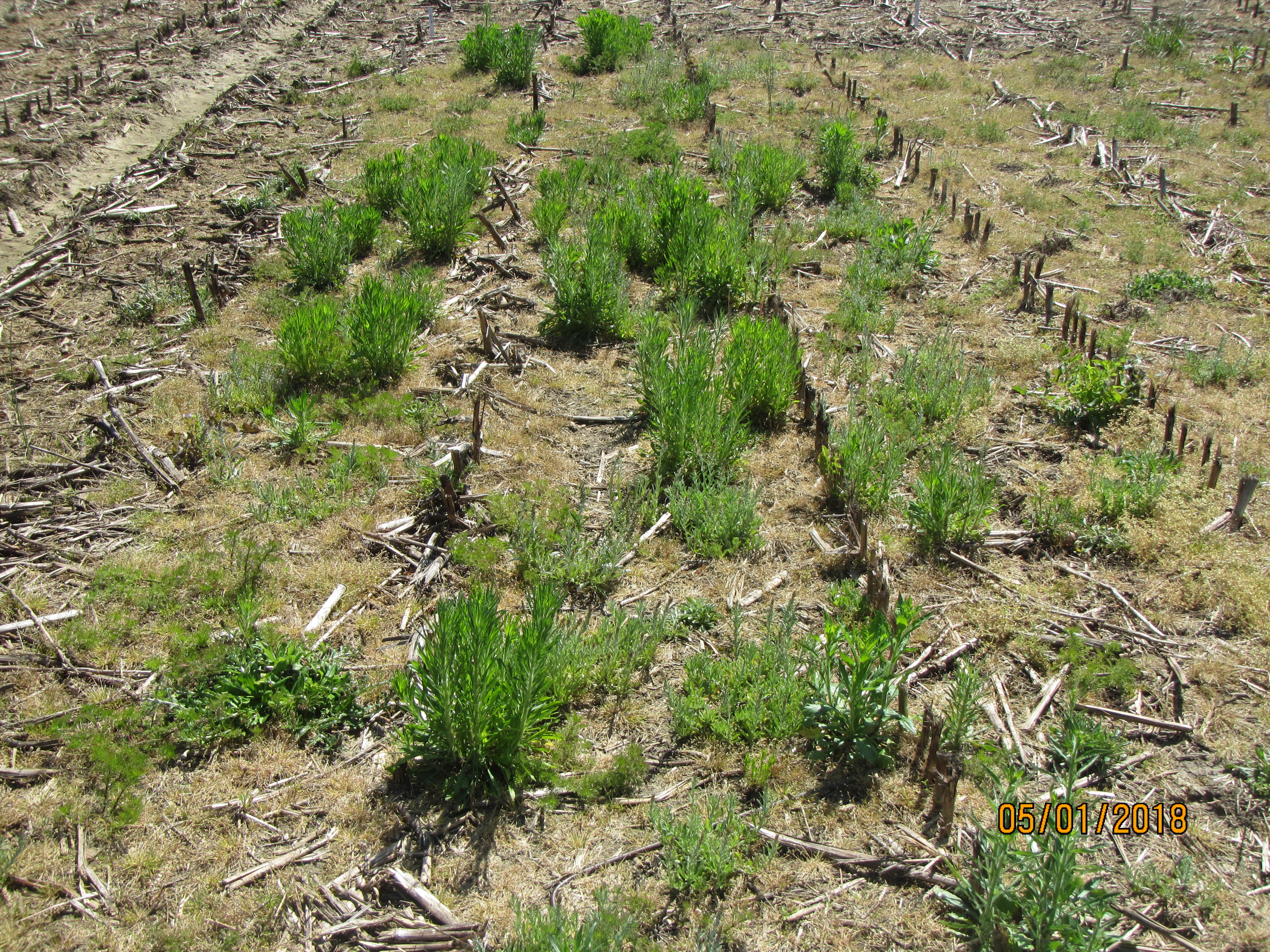 Burndown time is here. Be on the lookout for troublesome burndown weeds, especially herbicide-resistant horseweed.