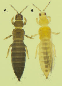 Image of tobacco thrips