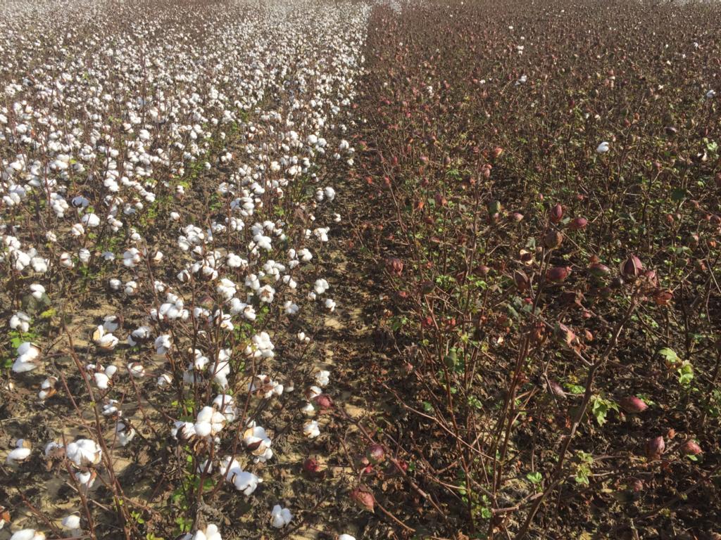 Image of Unsprayed Bollgard 3 cotton next to unsprayed non-Bt cotton