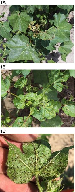 Image of potential herbicide damage