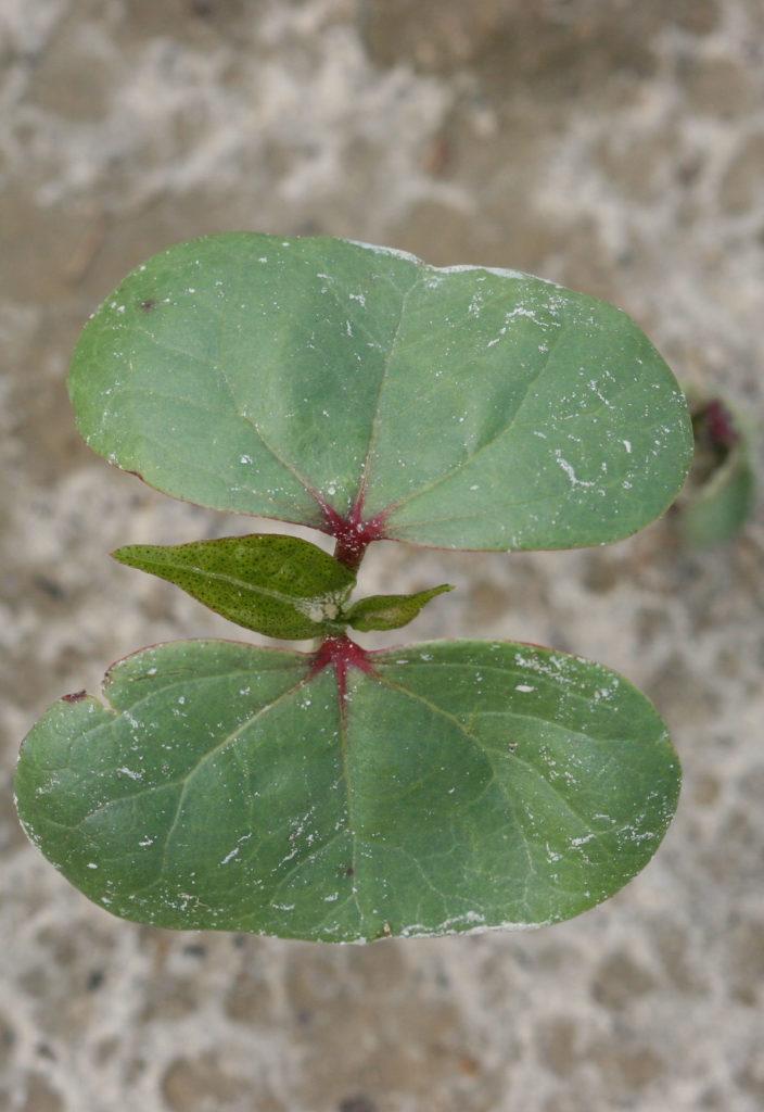 2 true cotton leaves