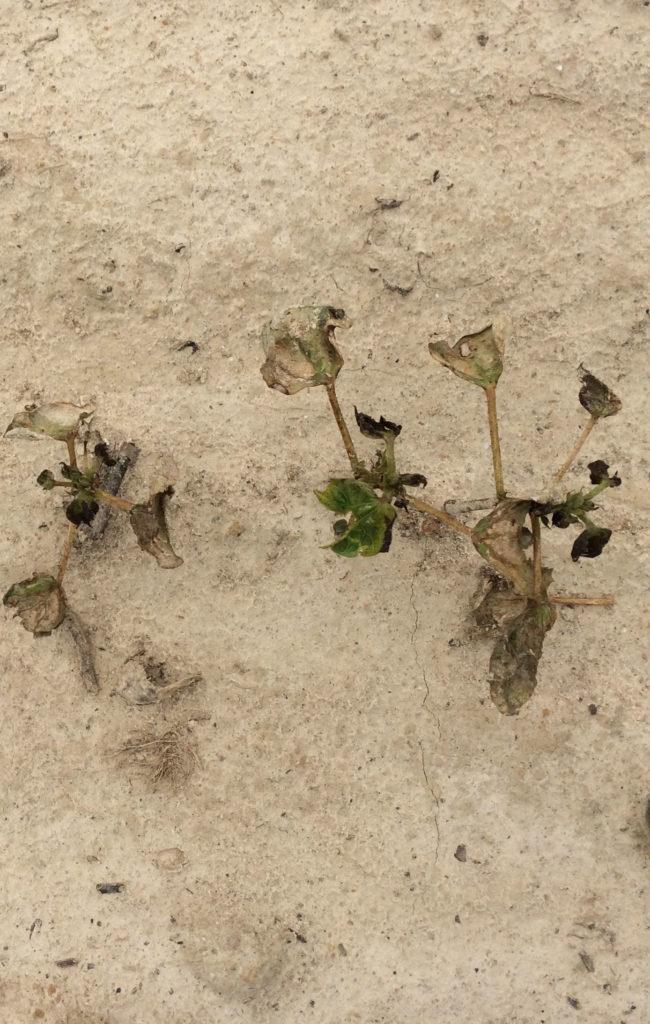 Thrips damaged cotton plants
