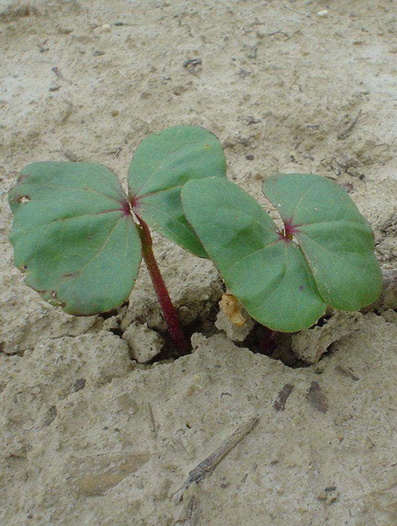 first true cotton leaf