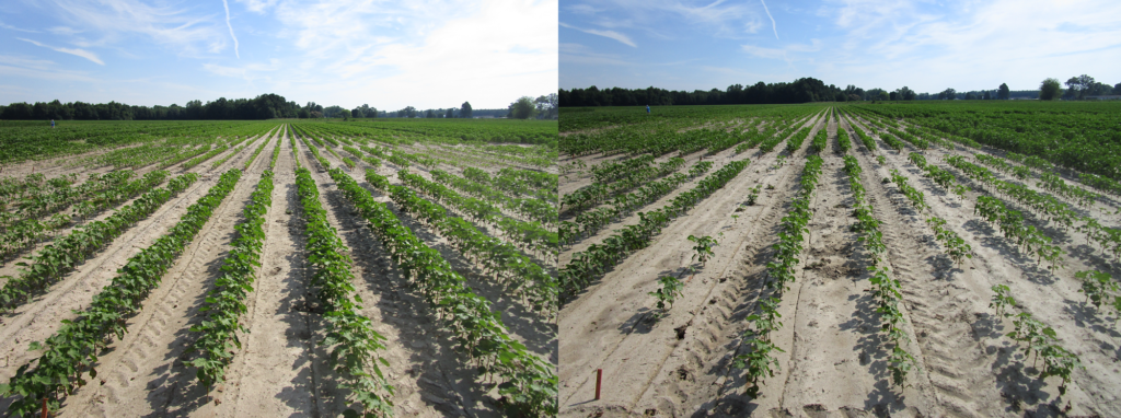 otton injury resulting from Warrant applied 1 week prior to planting (right) compared to nontreated (left). Warrant should not be used prior to planting, unless immediately before planting. Photo credit: <em>Andrew Blythe.</em>