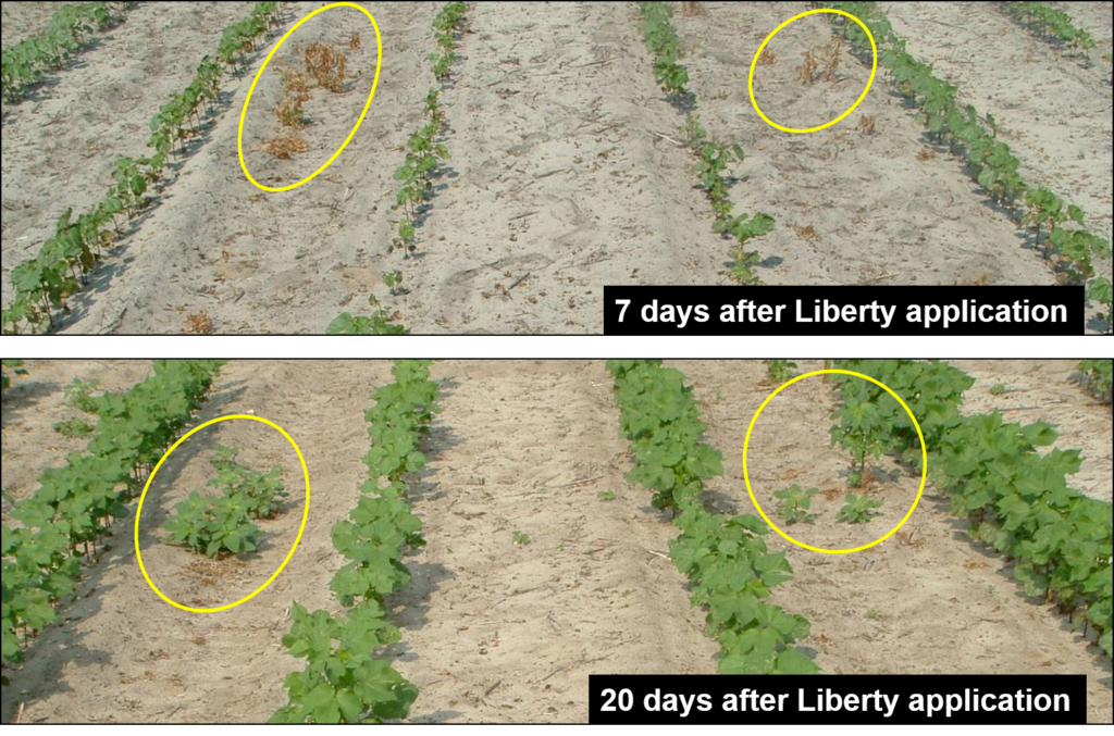 Recovery of large (> 4 inch) Palmer amaranth from Liberty. Photo Credit: A. York.