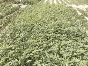 Soybeans infested with herbicide-resistant Palmer amaranth.